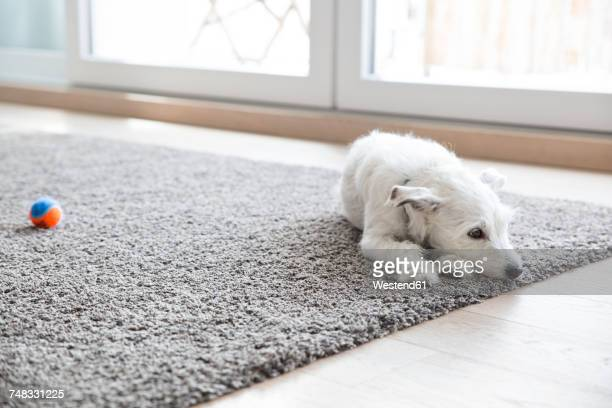 litlle dog lying on carpet in the living room - tapijt stockfoto's en -beelden