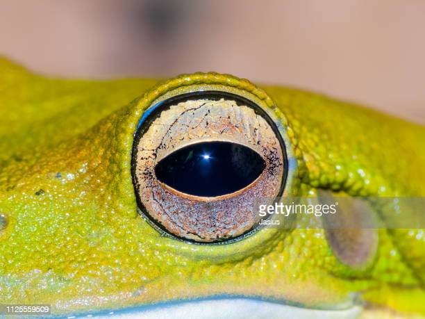 litoria caerulea – australian green tree frog - animal eye stock pictures, royalty-free photos & images