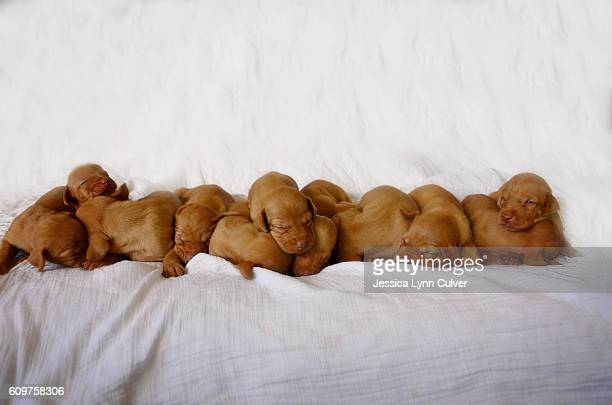 Litter of 12 Vizsla puppies piled together