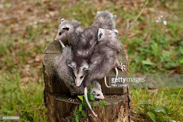 a litter of baby opossums - opossum americano foto e immagini stock