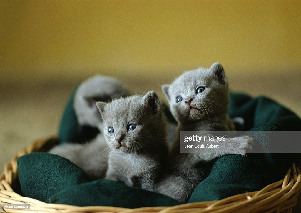 Litter of grey kittens in basket. : Stockfoto