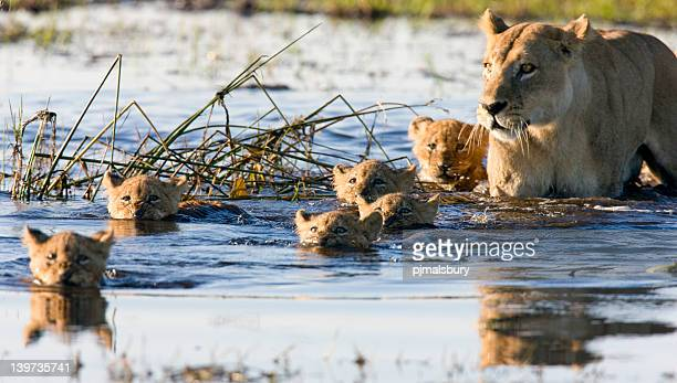 Lion Cubs Swimmingpool