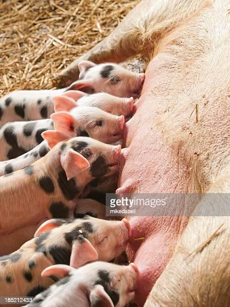 トイレの piglets - 雌豚 ストックフォトと画像