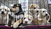 Litter of puppies in animal shelter. Australian Shepherds