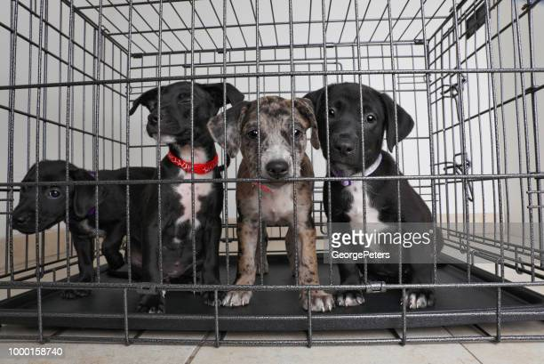 litter of puppies in animal shelter. catahoula leopard dog, pit bull terrier mixed dogs - catahoula leopard dog stock photos and pictures