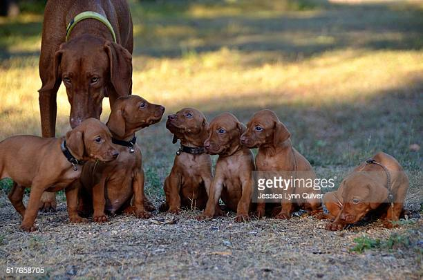 A litter of Vizsla puppies and their mother