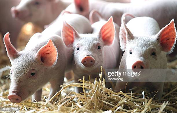 A litter of White Cross Landrace piglets wait to be fed at a farm in Maldon UK on Thursday Aug19 2010 Wheat climbed for a third day as demand for US...