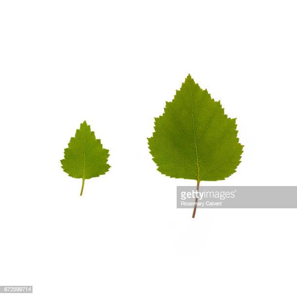 Little and large Silver Birch leaves side by side, on white.