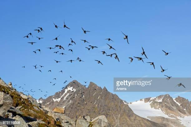 Little auk / dovekie flock in flight Svalbard / Spitsbergen Norway