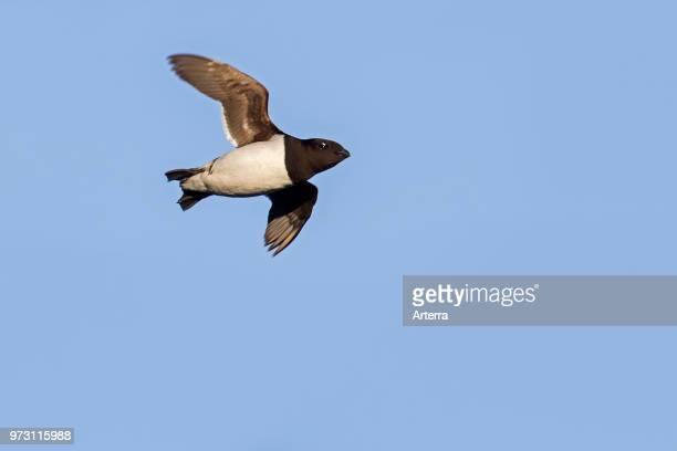Little auk / dovekie in flight against blue sky