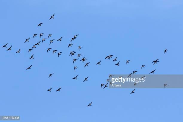 Little auks / dovekie little auk flock in flight against blue sky