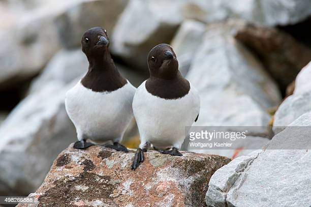 Little auks or dovekies at their nesting site on a rocky hillside at Varsolbukta in Bellsund, which is a 20 km long sound and part of the Svalbard...