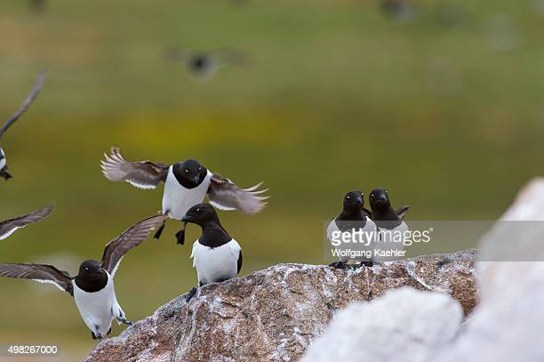 Little auks or dovekies landing on a rock at their nesting site at a rocky hillside at Varsolbukta in Bellsund, which is a 20 km long sound and part...