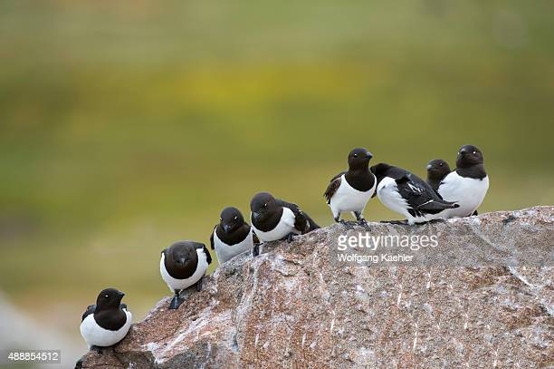Little auks or dovekies sitting on a rock at their nesting site on a rocky hillside at Varsolbukta in Bellsund, which is a 20 km long sound and part...