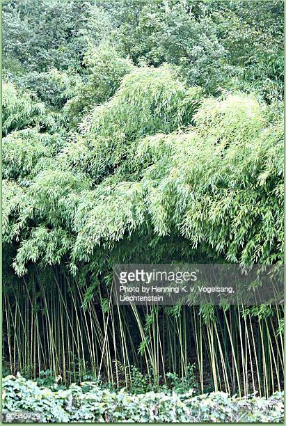 Little Bamboo forest in San Piero a Sieve