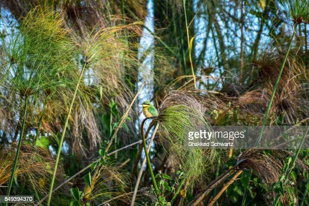 Little Bee Eater on the Reeds