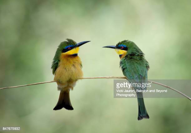 little bee eaters looking at each other - dos animales fotografías e imágenes de stock