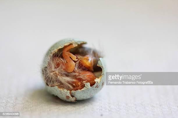 little bird emerging from egg - spanisch portugiesischer abstammung stock-fotos und bilder