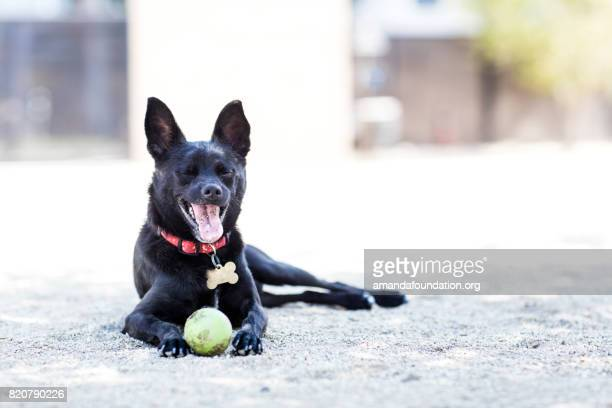 Little Black Schipperke Mix with a Tennis Ball - The Amanda Collection