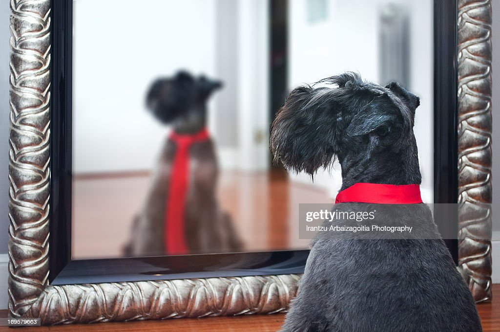 Little black schnauzer dog, looking at a mirror : Stock Photo