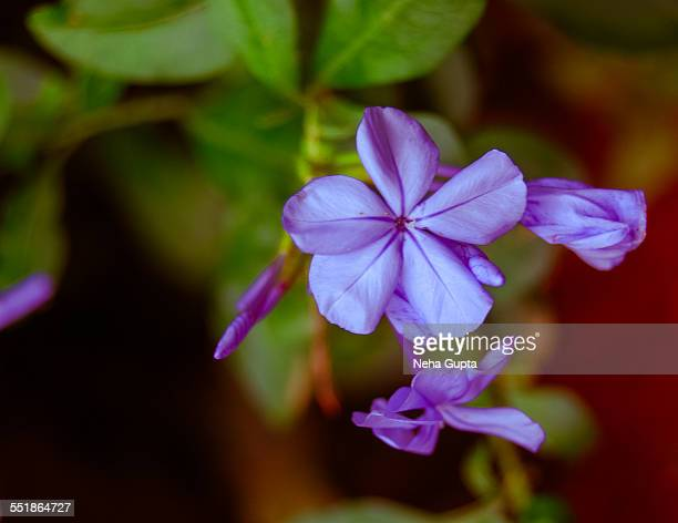little blue flower - neha gupta stock pictures, royalty-free photos & images