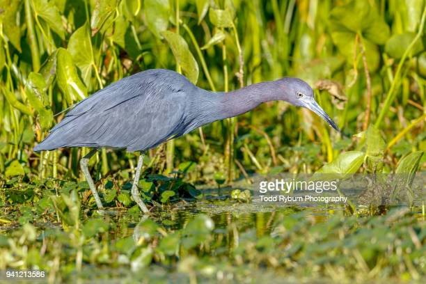 Little Blue Heron Hunting in the Marsh