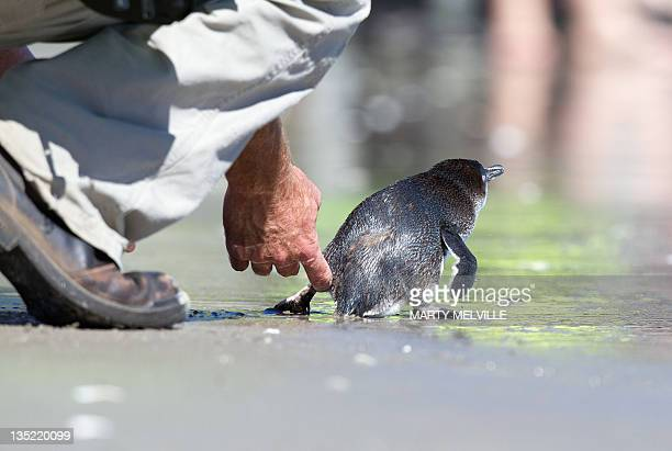 A Little Blue Penguin encouraged by a wild life worker to head back to sthe sea at Mount Maunganui beach in Tauranga on December 8 2011 The Penguins...