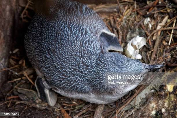 little blue penguin in a nesting box at flea bay on the banks peninsula - little blue penguin stock photos and pictures