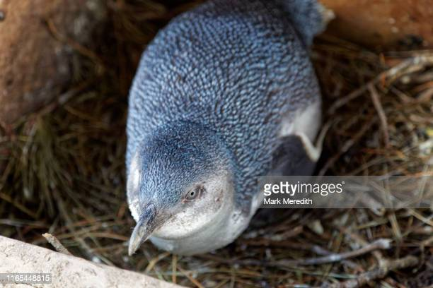 little blue penguin in a nesting box - little blue penguin stock photos and pictures