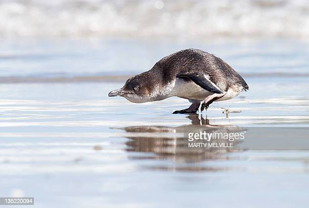 A Little Blue Penguin moves towards the sea after being released by wild life workers and school children at Mount Maunganui beach in Tauranga on...