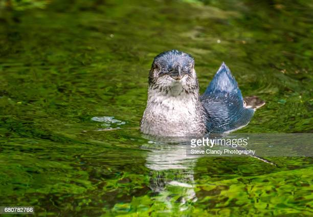 little blue penguin - little blue penguin stock photos and pictures