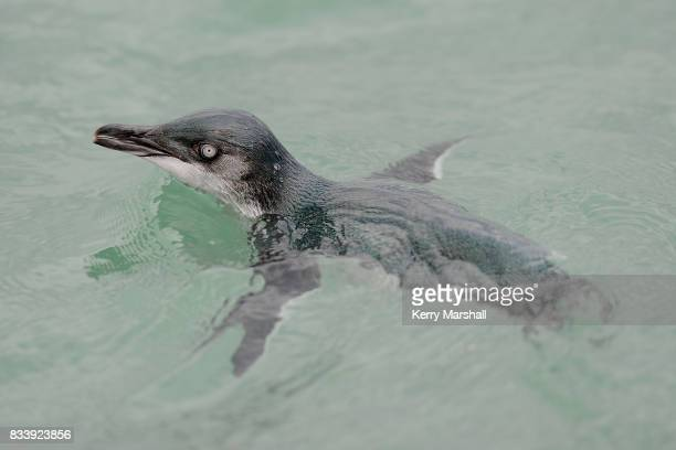 Little Blue Penguin swims in the sea off Ahuriri Napier For many years injured penguins were taken to Marineland of New Zealand for care February 26...