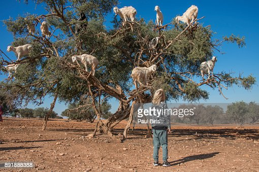 little boy admiring the tree climbing goats on argan tree in Morocco
