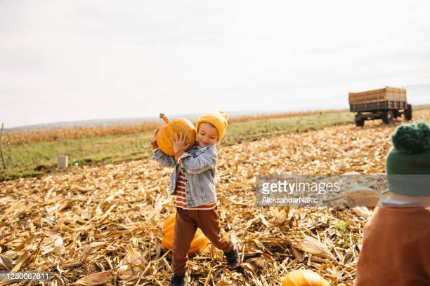 little boy collecting pumpkins - pumpkin harvest stock pictures, royalty-free photos & images