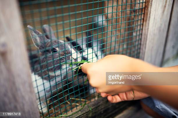 little boy feeding rabbits with grass - rabbit stock pictures, royalty-free photos & images