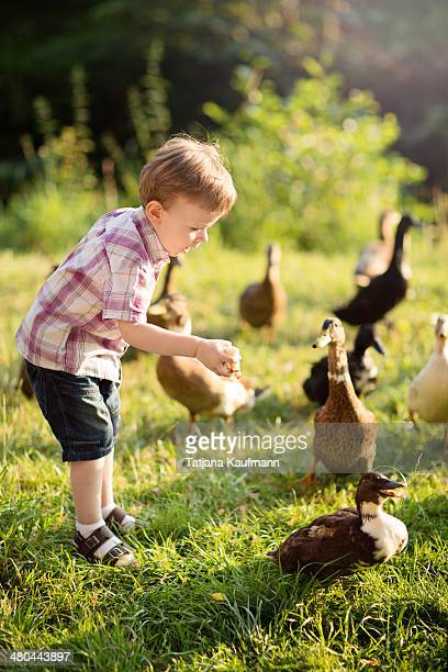little boy feeding some ducks with old bread - duck bird stock photos and pictures