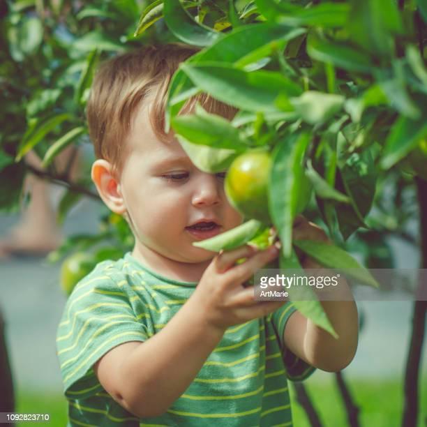 garotinho, colheita de frutas cítricas no verão - só um menino - fotografias e filmes do acervo