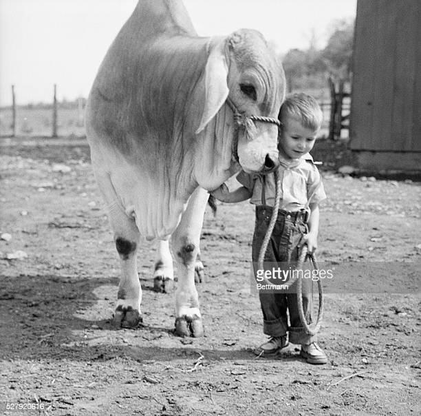 A little boy leads a Brahma calf many times his size around a ranch corral
