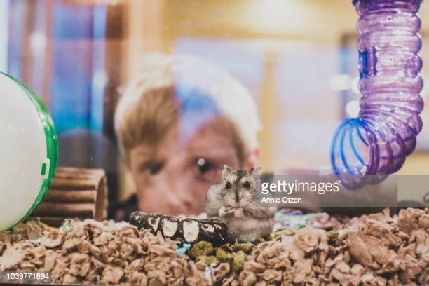 little boy peeking through terrarium behind his pet hamster - hamster imagens e fotografias de stock