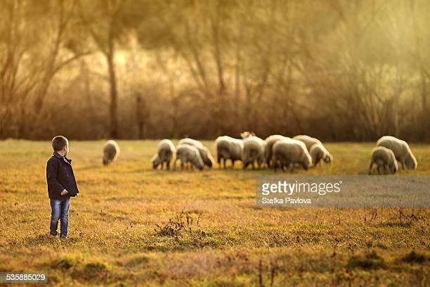 Little boy shepherd watching over the sheep