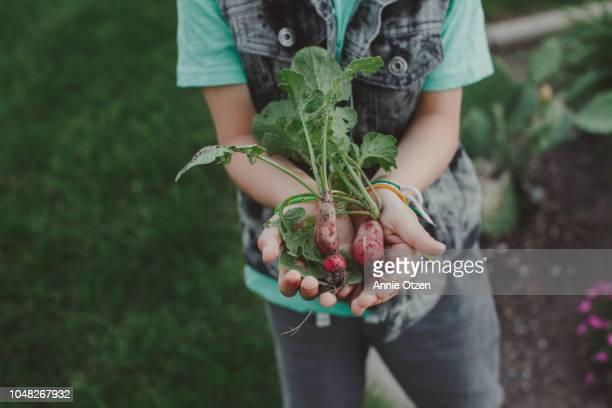 little boy showing a bunch of radishes - ramo parte de uma planta imagens e fotografias de stock