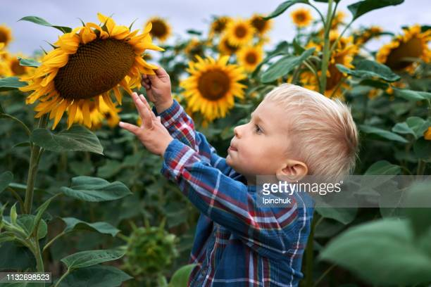 little boy touches sunflower on the field in the cloudy day - helianthus stock photos and pictures