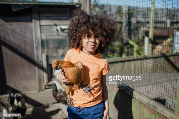 little boy with a silkie chicken - livestock show stock pictures, royalty-free photos & images