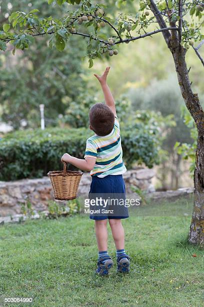 little boy with basket collects plums