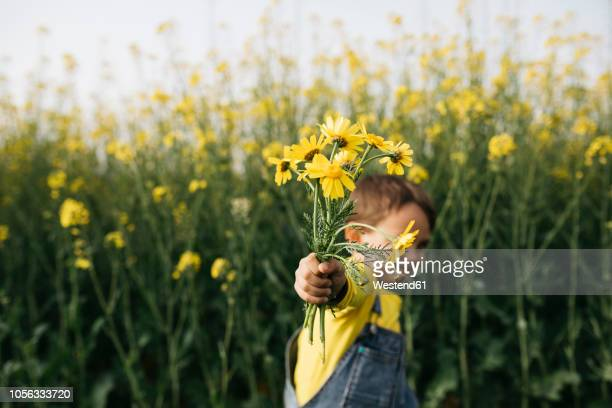 little boy's hand holding picked yellow flowers in front of rape field - geben stock-fotos und bilder