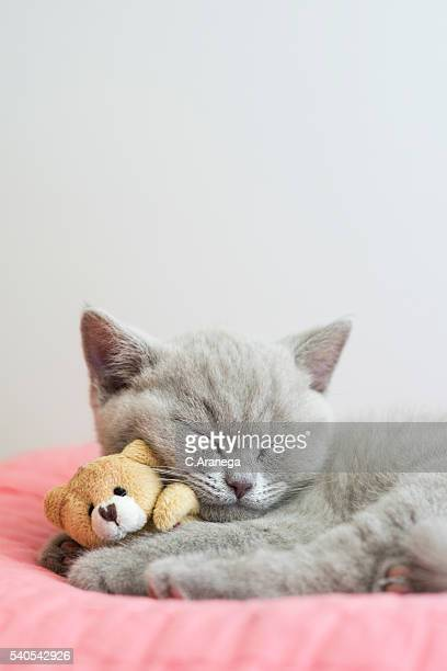 little british shorthair cat sleeping on a pink pillow with a teddy bear - one animal stock pictures, royalty-free photos & images
