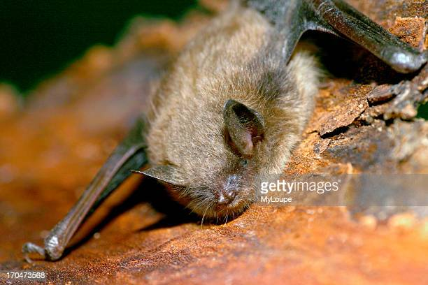 Little Brown Bat roosting on tree bark