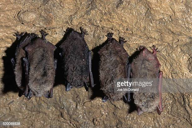 little brown bats hibernating - hibernation stock pictures, royalty-free photos & images