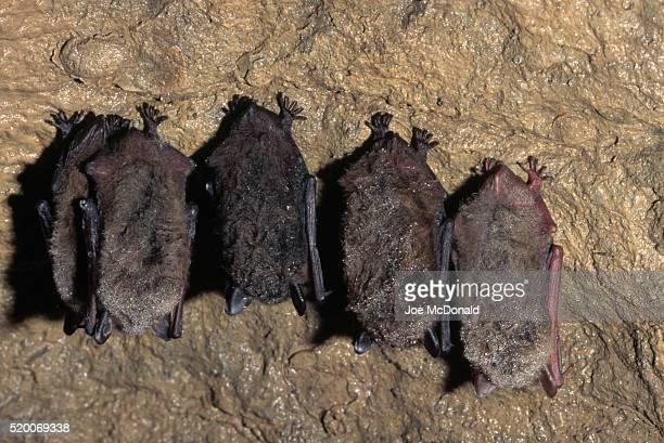 little brown bats hibernating - 冬眠 ストックフォトと画像