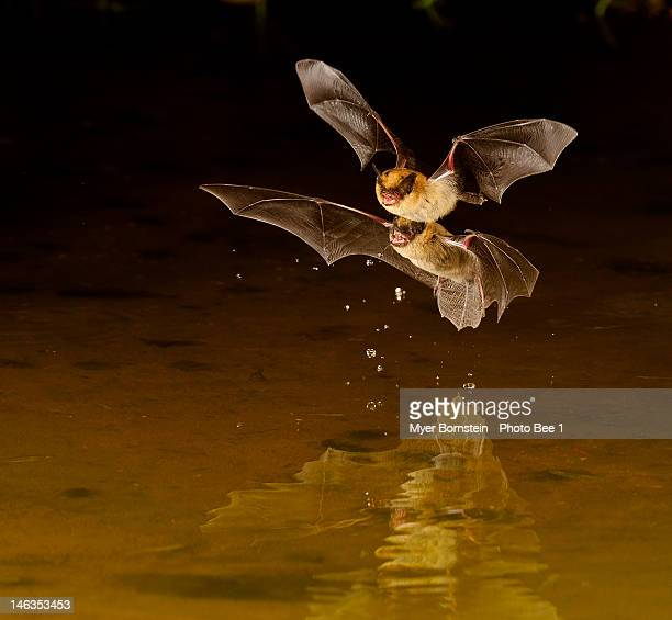 little brown bats - bat animal stock photos and pictures